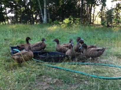 ducks in spring