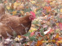 chicken in fall