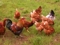 Chickens ranging