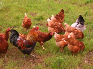 Chickens ranging