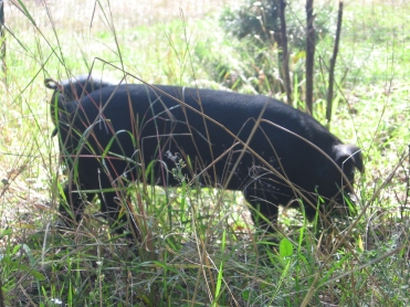 pastured heritage hogs