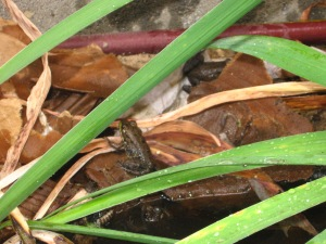 "frogs in the ""pond"""