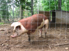 Hereford boar