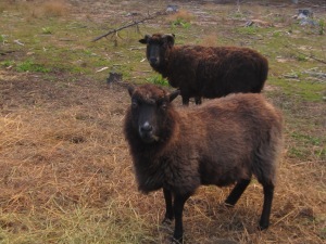Shetland Sheep for Sale