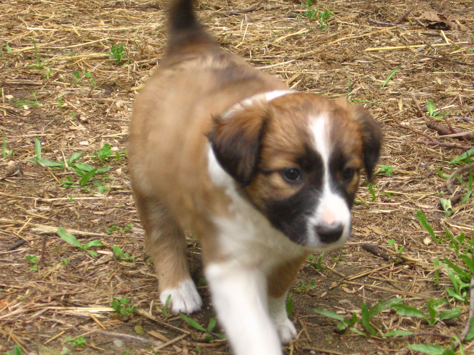 English Shepherd Puppy Page Morganic Farm