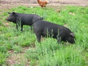 Hogs on pasture