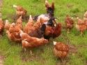 chickens on pasture