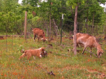 "Jack ""herding"" the goats"