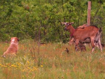 goats, horse, puppies & chicks 251