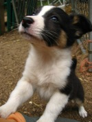 English Shepherd Puppies