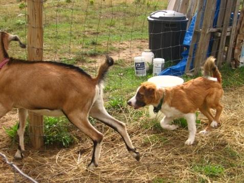 Jack herding