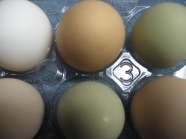 eggs come in all colors, shapes and sizes