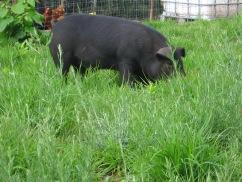 Pigs on pasture