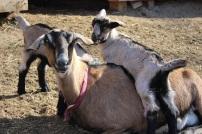 Goat mama and kids