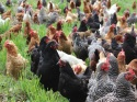 chickens 108 cropped