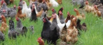 chickens 136 cropped