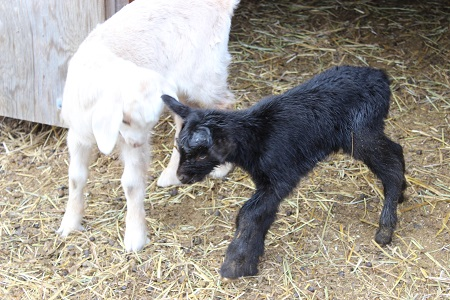 new buckling meeting an older buckling in the pen-still just minutes old