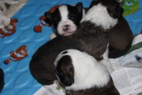 3 male pups