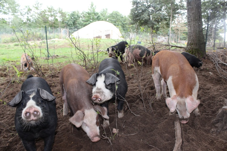 young pigs on pasture 069 SMALLER.jpg